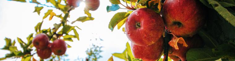 pigrizia mela