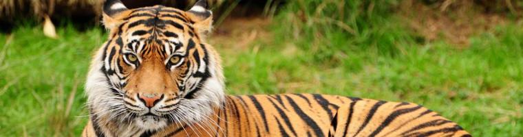 frasi sull'autostima - tigre